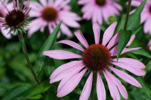 lilla-blomst